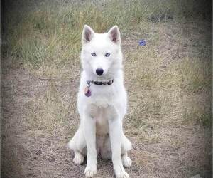 Mother of the Siberian Husky puppies born on 08/23/2019