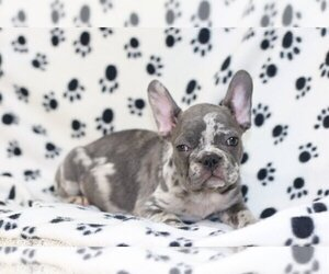 French Bulldog Puppy for sale in VERO BEACH, FL, USA