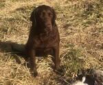 Small Photo #6 Labrador Retriever Puppy For Sale in PARKER, KS, USA
