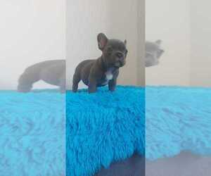 French Bulldog Puppy for Sale in DIX HILLS, New York USA