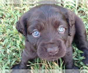 Boykin Spaniel Puppy for Sale in SILVER CREEK, Georgia USA