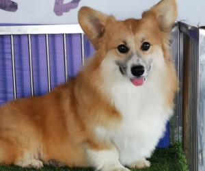 Mother of the Pembroke Welsh Corgi puppies born on 09/02/2020