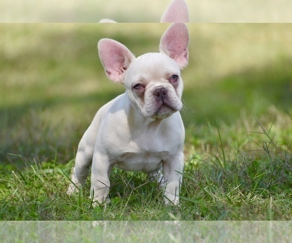 Full screen Photo #2 French Bulldog Puppy For Sale in CHRISTIANA, TN, USA