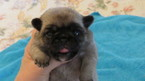 Pug Puppy For Sale in ESTACADA, OR, USA