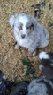 Miniature Australian Shepherd Puppy For Sale in SCAPPOOSE, OR, USA