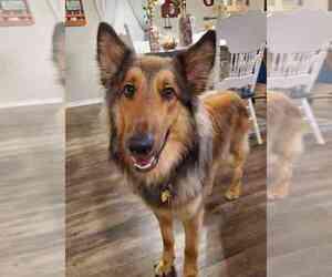 Collie-German Shepherd Dog Mix Dog for Adoption in KILLEEN, Texas USA