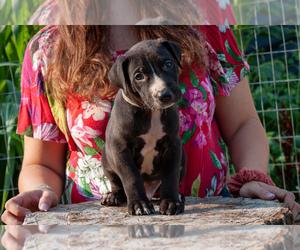 Doberman Pinscher-Dogo Argentino Mix Puppy for Sale in OGDEN, Utah USA