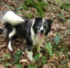 Rascal - Australian Shepherd / Shepherd Dog For Adoption