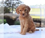 ADORABLE parti F1b STD Goldendoodle puppies