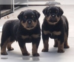 Rottweiler Puppy For Sale in BEVERLY HILLS, CA, USA