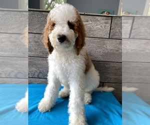 Poodle (Standard) Puppy for Sale in RICHMOND, Illinois USA