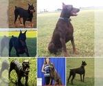 Beautiful AKC registered large Doberman puppies