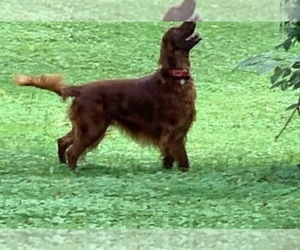 Irish Setter Puppy for sale in CHARLOTTESVILLE, VA, USA