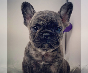 French Bulldog Puppy for Sale in KERENS, Texas USA