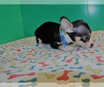 Small Photo #5 Chihuahua Puppy For Sale in PATERSON, NJ, USA