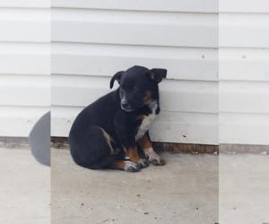 Australian Cattle Dog Puppy for sale in OSHKOSH, WI, USA