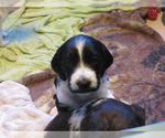 Puppy 2 Brittany