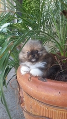 Pomeranian Puppy For Sale in SPRING, TX, USA
