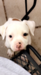 American Bulldog Puppy For Sale in DENVER, CO