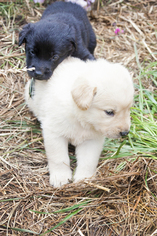 Labradoodle Puppy For Sale in BURIEN, WA, USA