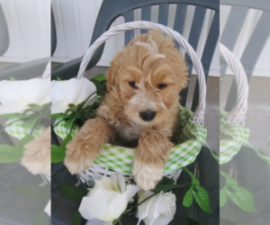 Australian Cattle Dog-Poodle (Toy) Mix Puppy for sale in INDIANAPOLIS, IN, USA