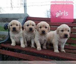 Golden Retriever Puppy for Sale in CANTRIL, Iowa USA