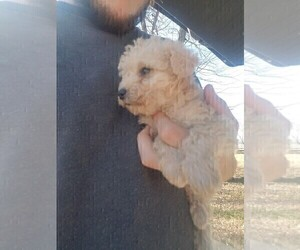 Schnoodle (Miniature) Puppy for Sale in SPENCER, Tennessee USA