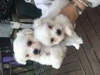 Maltese Puppy For Sale in CANONSBURG, PA, USA