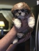 Shih Tzu Puppy For Sale in OAKVILLE, CT, USA