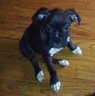 3 sweet Boxer puppies 4 sale