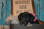 Great Dane Puppy For Sale in CEDAR HILL, TN, USA