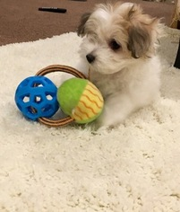 Morkie Puppy For Sale in WOODLAND HILLS, CA