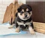 Small #10 Shiba Inu