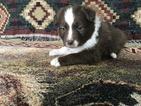 Australian Shepherd Puppy For Sale in FRIENDSVILLE, TN, USA