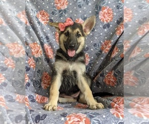 German Shepherd Dog Puppy for sale in OXFORD, PA, USA