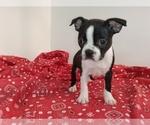 Puppy 1 Boston Terrier