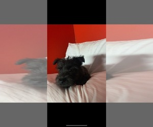 Scottish Terrier Dog for Adoption in VICTORVILLE, California USA