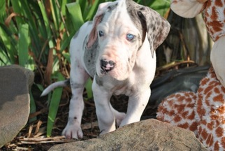 Great Dane Puppy for sale in BRENT, AL, USA