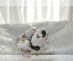 Small #21 English Bulldog