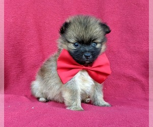 Pomeranian Puppy for sale in OXFORD, PA, USA