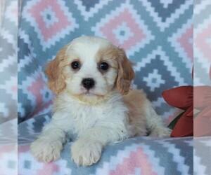 Cavachon-Cavalier King Charles Spaniel Mix Puppy for sale in NARVON, PA, USA