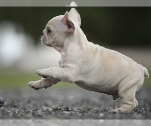 French Bulldog Puppy for Sale in LOX, Florida USA