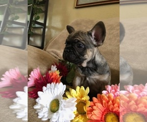French Bulldog Puppy for sale in FRUITVALE, CO, USA