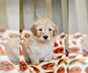 Goldendoodle Puppy for sale in DRIPPING SPGS, TX, USA