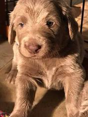 Weimaraner Puppy For Sale in NORTH SALEM, NY, USA