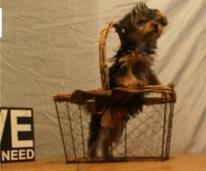 Yorkshire Terrier Puppy for Sale in BIRON, Wisconsin USA