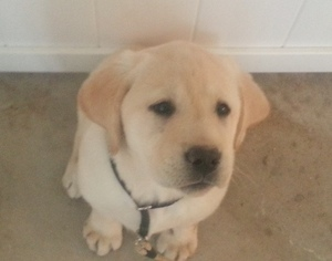 Labrador Retriever Puppy For Sale in LOWELL, MI