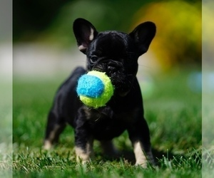 French Bulldog Puppy for Sale in MOUNT GILEAD, Ohio USA