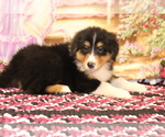 Small #3 Bernese Mountain Dog-Collie Mix