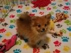 Pomeranian Puppy For Sale in TUCSON, AZ, USA